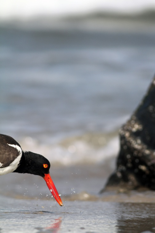 Hey, remember when we discovered Chotchkie the Oystercatcher had a Girlfriend?