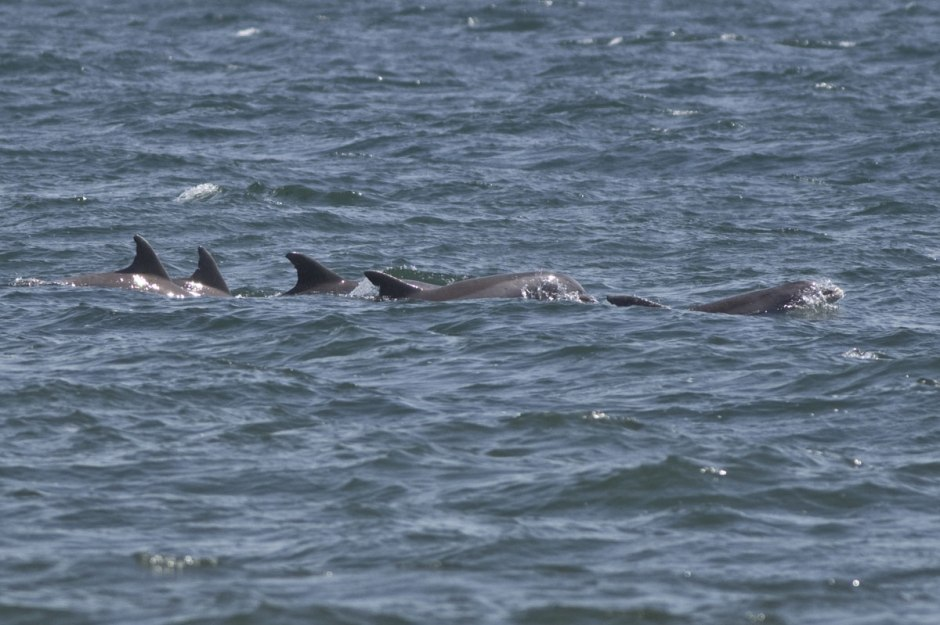 A healthy portion Pod of Dolphin travel the New Jersey Shore