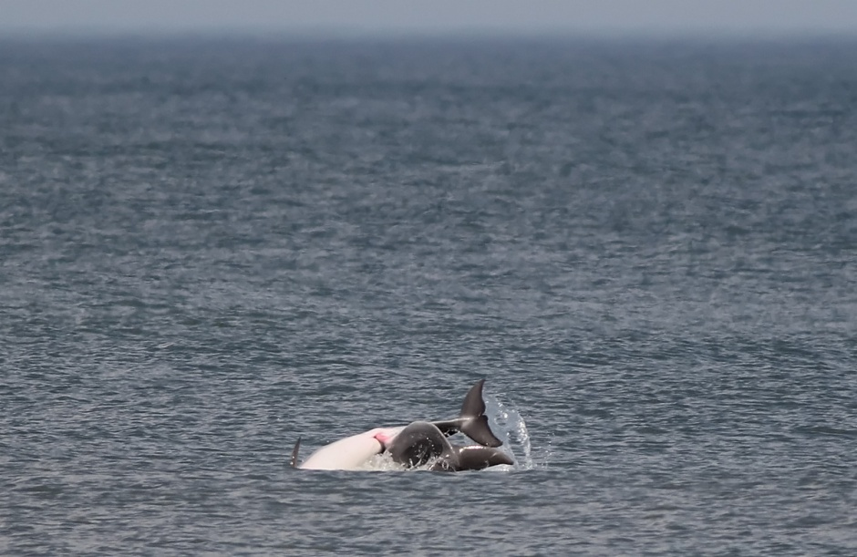 It's pretty hard to miss if you are lucky enough to catch some Dolphin mating.