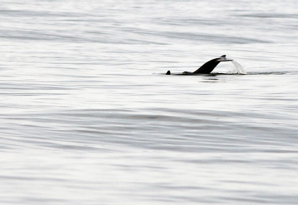 Hard to miss a Dolphin tail in black lit on a calm morning sea