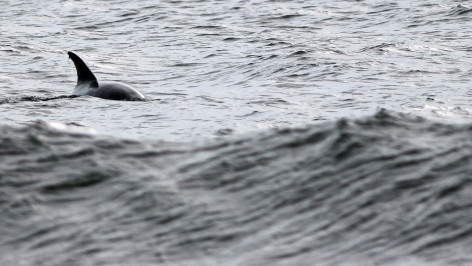 Dolphin love to swim the Jersey Shore, just beyond the break on the lower sides of mid-tide.