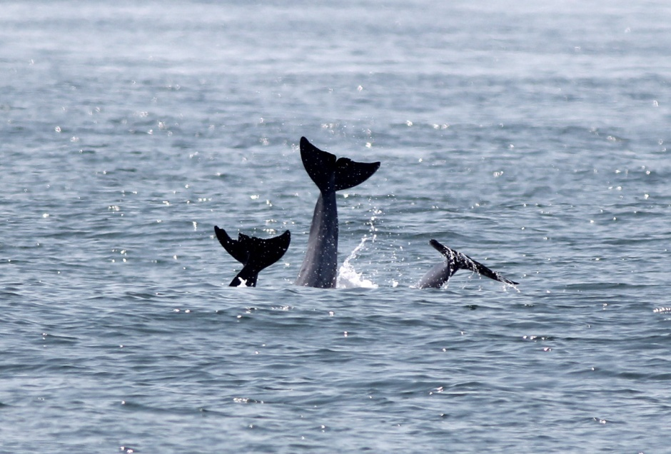 Triple Tail: A real Dolphin Sighting Treat on the Jersey Shore