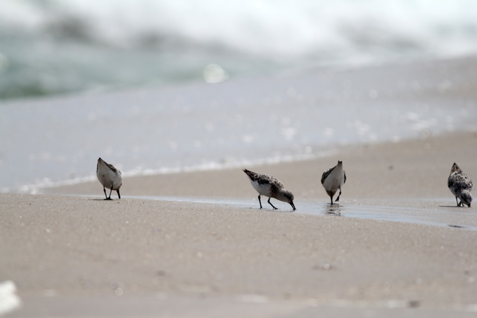 The Sandpipers love every minute of these conditions, picking off Mole Crabs stranded after the big wash.