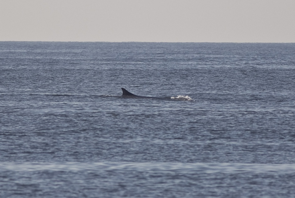 This is the Dorsal Fin, which makes me think we have a Finback Whale and not a Humpback.