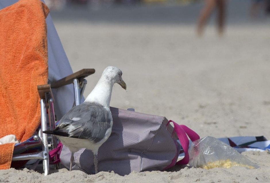 Mac Daddy, North Beach's oldest and most experienced Herring Gull had a field day raiding yer stuff while people abandoned their camps in favor of the water