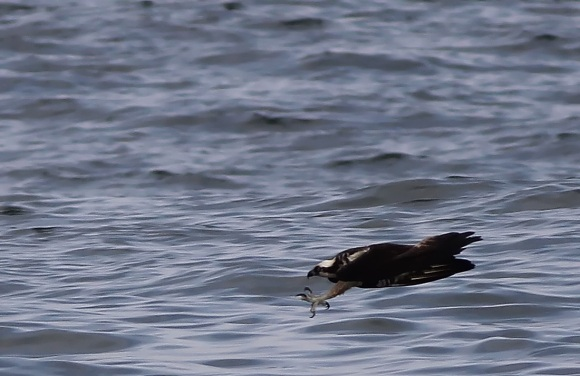 The last thing a Bluefish sees: Osprey's Talons