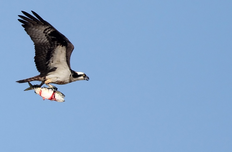 Osprey is having no trouble finding fish near shore this morning. A great sign.