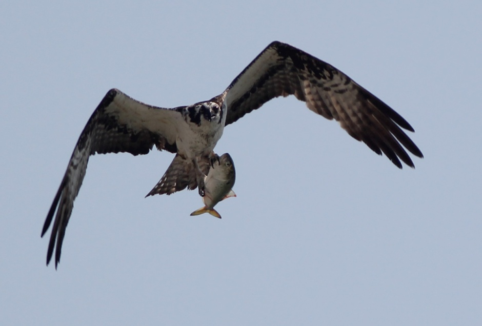 Hey Osprey: yer doin' it wrong. Upside down fish are decidedly non-aerodynamic.