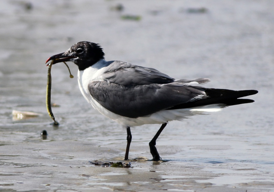 Will some Bay person PLEASE tell me what he is eating? I have never seen a laughing gull eat anything other than Pretzels.