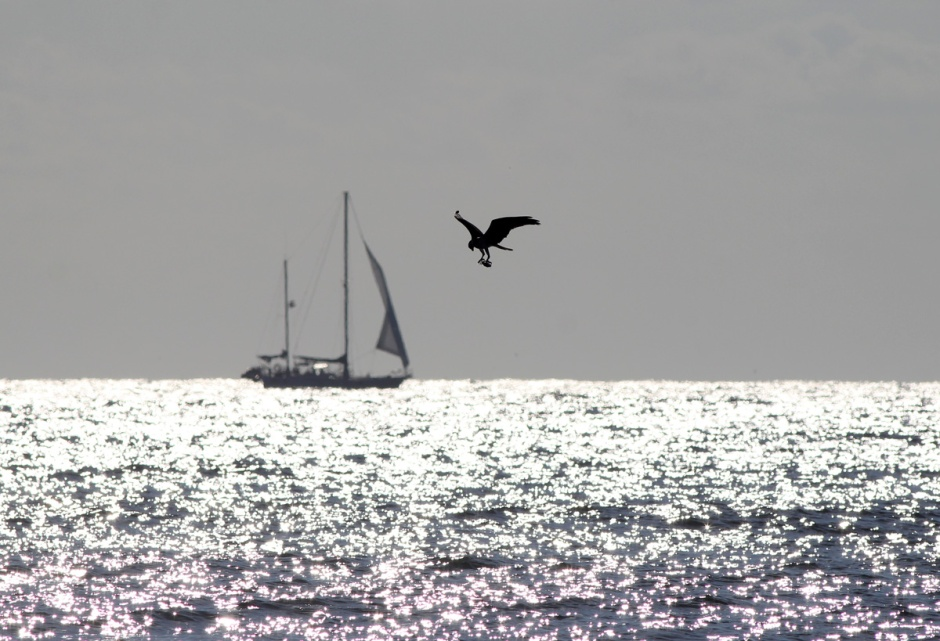 Osprey & Sailboat: catchin' the breeze.