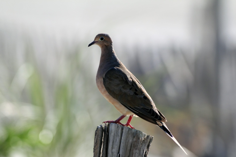 Lookin' gorgeous this Mourning (Dove)