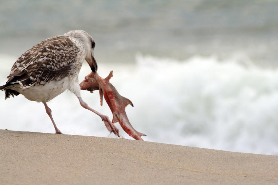 Even the juvenile gulls were landing shark