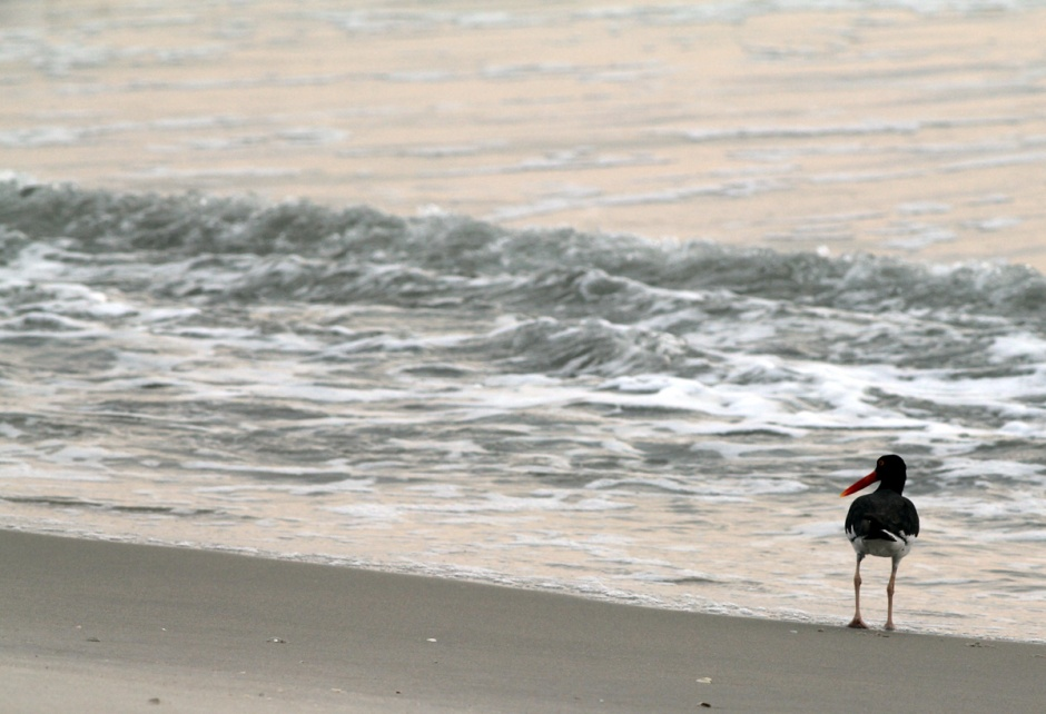 Even our old friend, Chotchke's GF the Oystercatcher, is out for the sunrise. We missed you, girrrrl.
