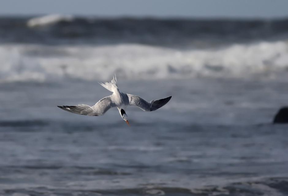 Royal Tern about to take her Royal Foam Bath