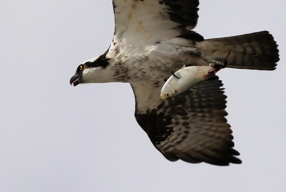 Osprey Mystery: Can someone please ID Osprey's afternoon catch? Something does not look right.