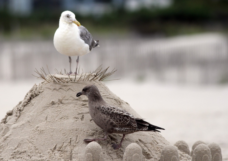 It was not long before Mac Daddy, the oldest and most experienced Herring Gull in North Beach claimed his throne.