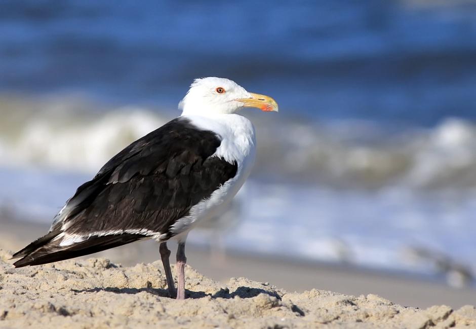 I iz the mighty-est of Gulls