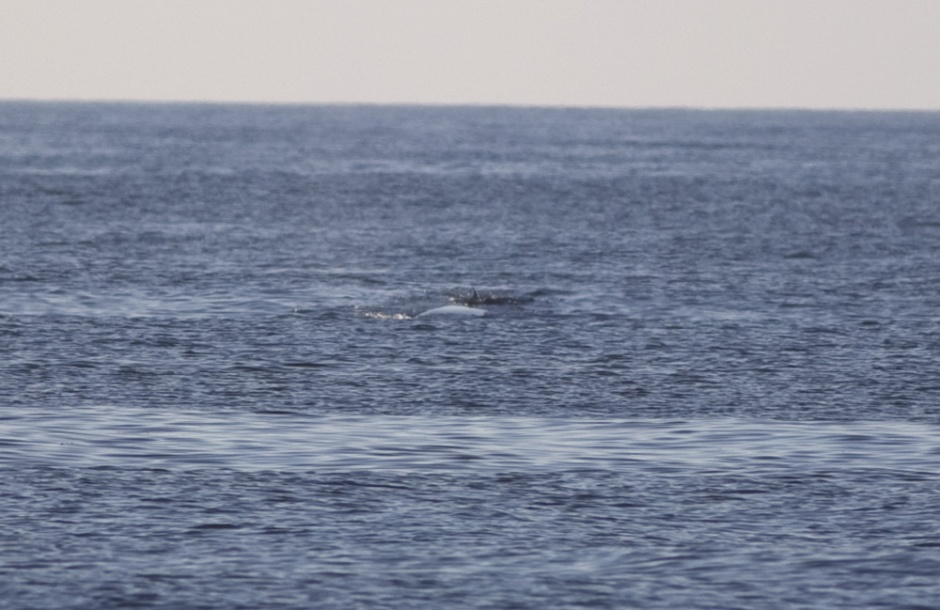 Money Shot? The Chevron Patch. Finback whales have a distinctive chevron blue patches behind the head and on the sides.