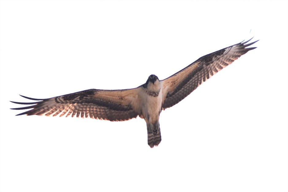 Osprey soared once the sun broke
