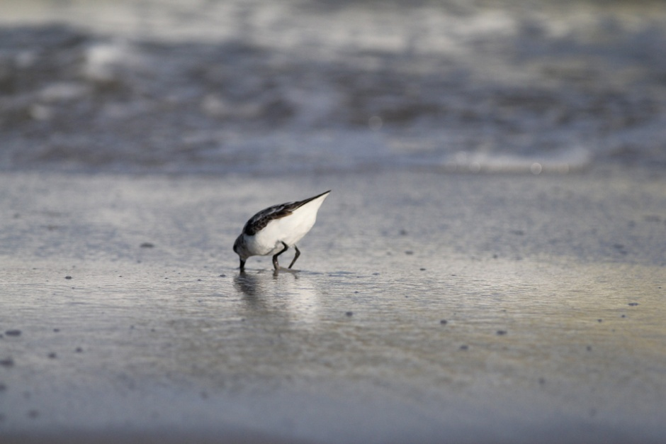 The waders were loving a fresh wash of Coquina clams