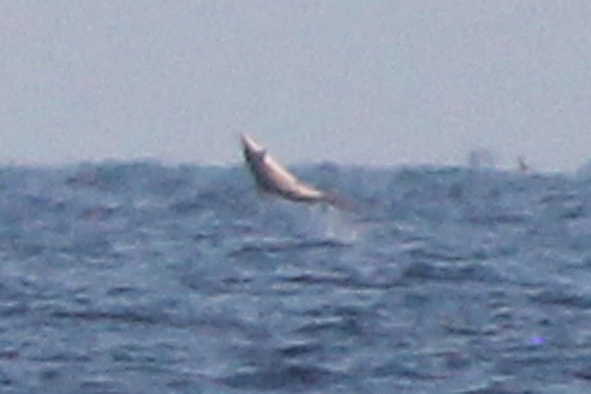 Great White Shark Bald Head Island