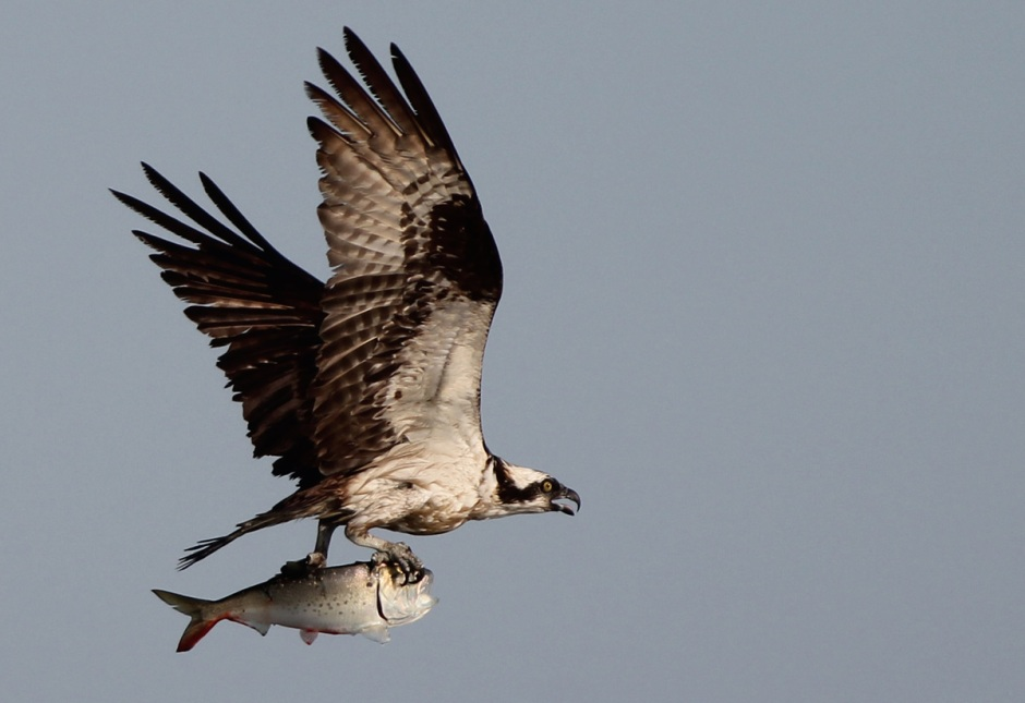 Unfortunately, Osprey missed out on those bluefish and got stuck eating Menhaden for dinner.