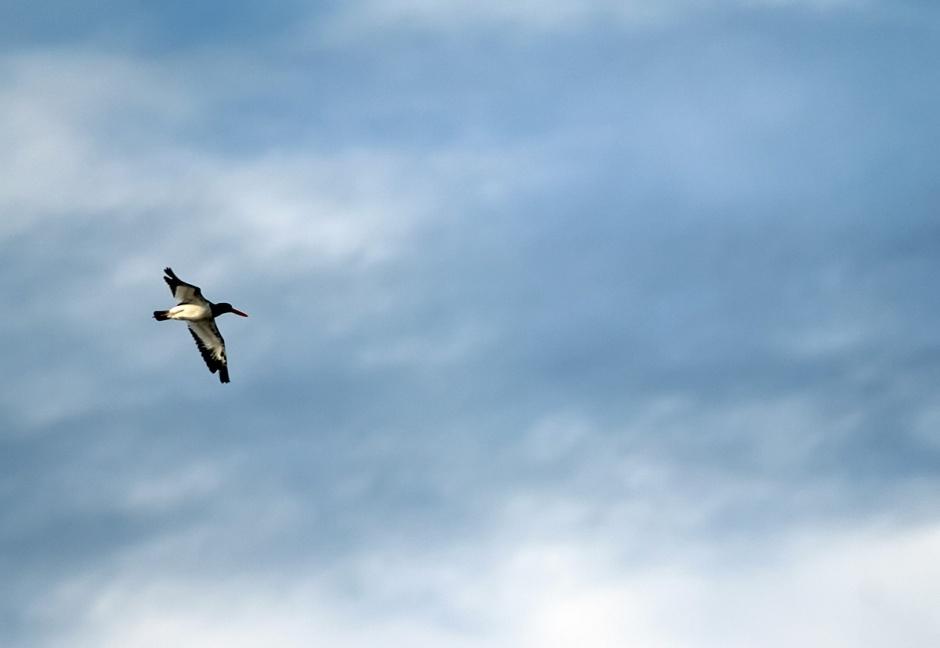 Oystercatcher rides the Autumn breeze.