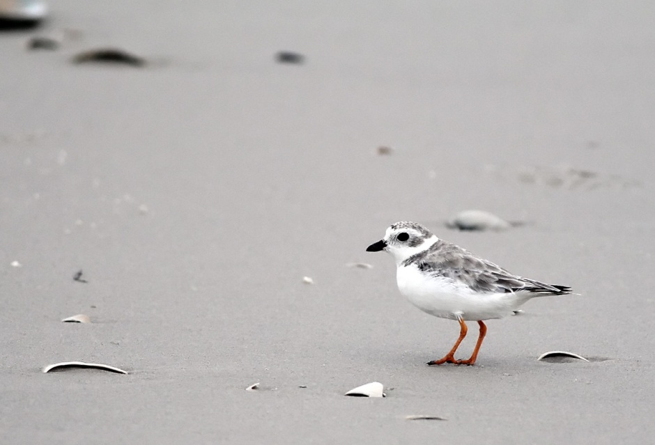Huge Score: Adorable Piping Plover