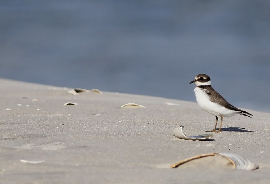 But this Wilson's Plover is looking for friends. You can spot a Wilson's Plover by the absence of orange (beak & legs) that you'll find on the more common Semipalmated Plover