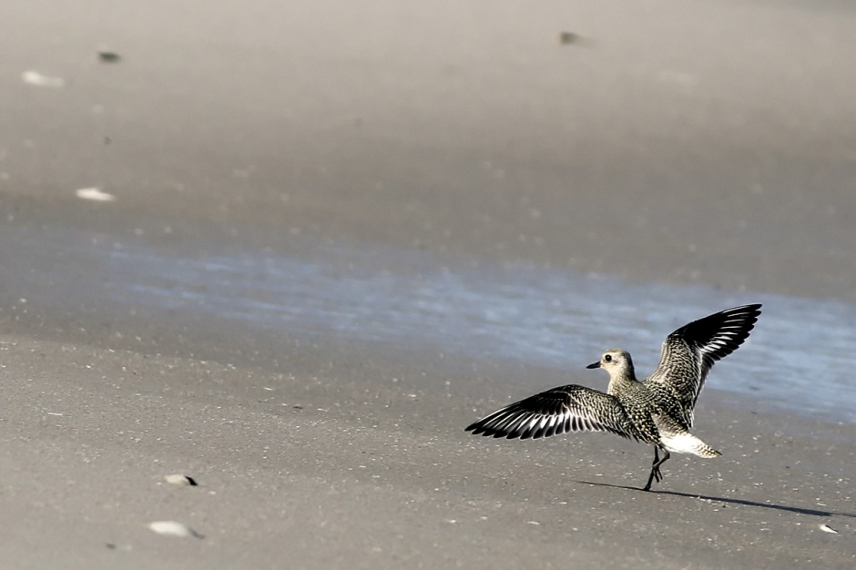 Score: Black Bellied Plover getting ready for winter