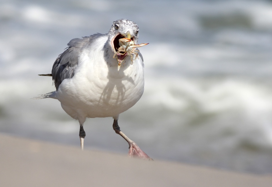 Mac Daddy, North Beach's oldest and most experience Herring Gull, picks off crabs in the High Tide.