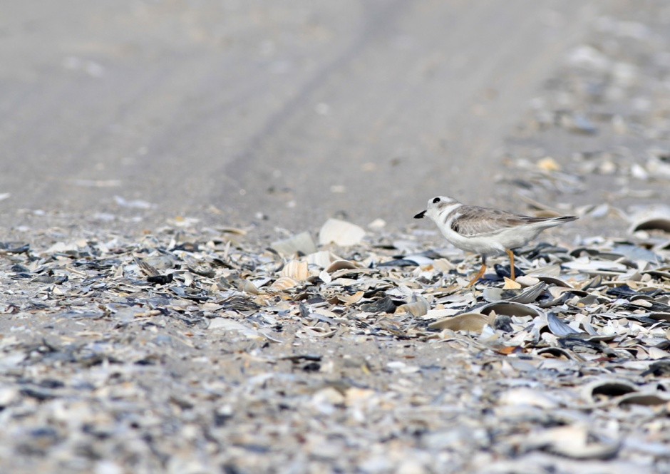 Adorable Piping Plover is paranoid for good reason