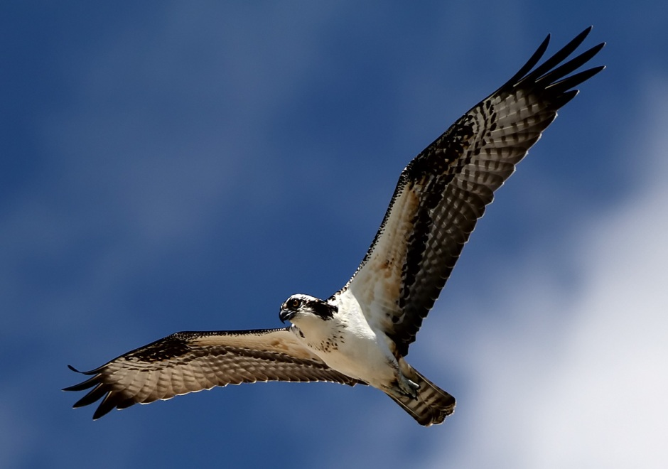 Osprey soars, empty taloned, in the fine September skies
