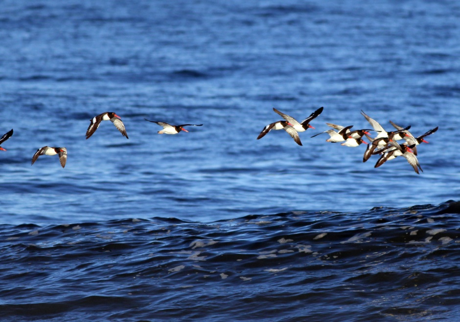 Mega Oystercatcher Flocks continue to head South