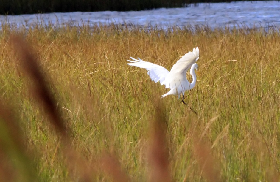 to see The Great Egret