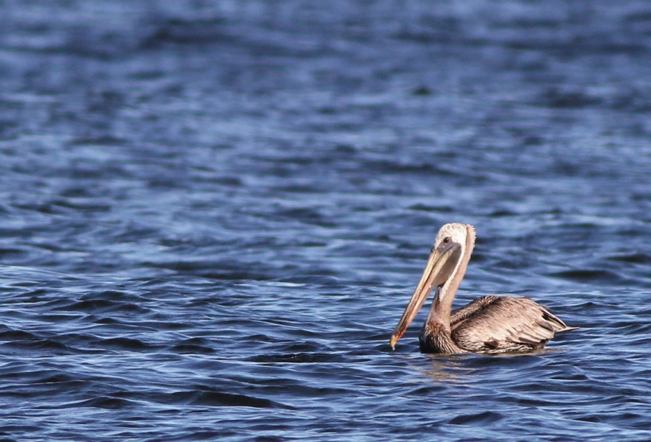 "Holgate Pelican... so much cooler than ""regular"" Pelican"