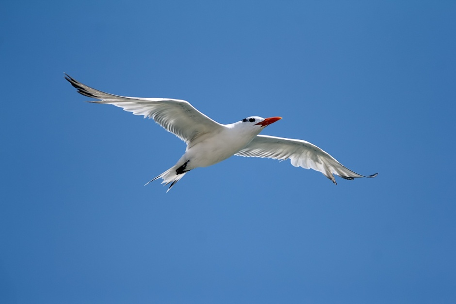 Royal Tern hunts a day fit for the King