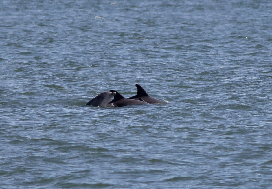 "Whenver you see tightly packed Dolphin pods, you can safely bet they are harboring itty-bitty little baby calves; in this case ""Elmo"""
