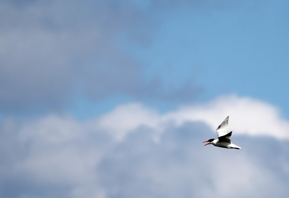and the Caspian Tern