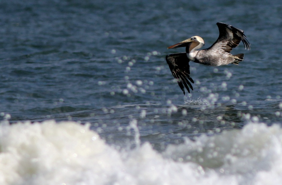 Isn't it a little late for you fella?  Could Peekaboo Pelican be a first generation of LBI resident pelican?