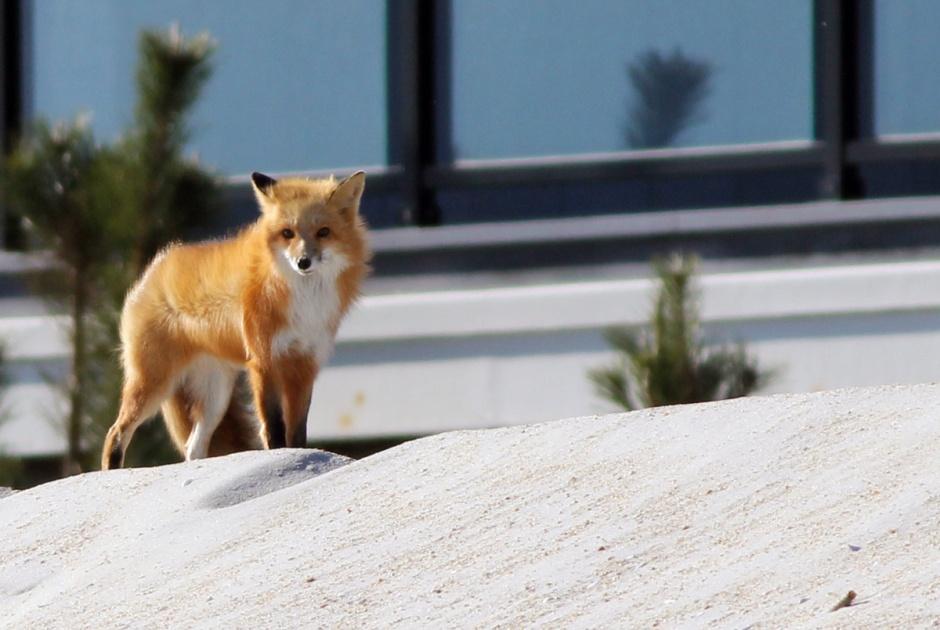 Bonus Shots for Yesterday's beach fox sighting