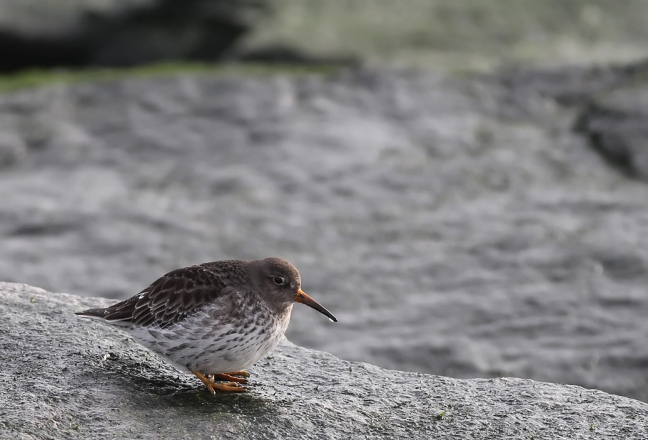 Purple Sandpipers on LBI, now with a little extra holiday plump.