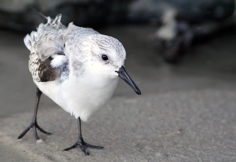 Bonus Wintertime Friend: Sanderlings are everywhere.