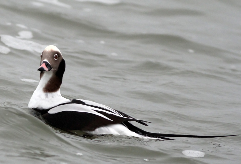The Long Tailed Duck. Street name: Old Squaw.
