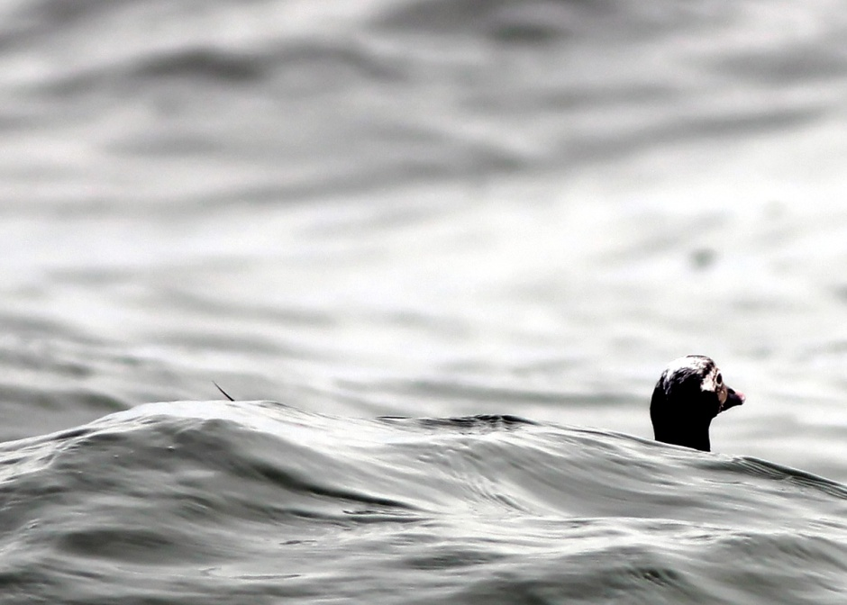 Ermehrgerd, Derks! A cold march has the long tailed ducks clinging to the long tail of winter.