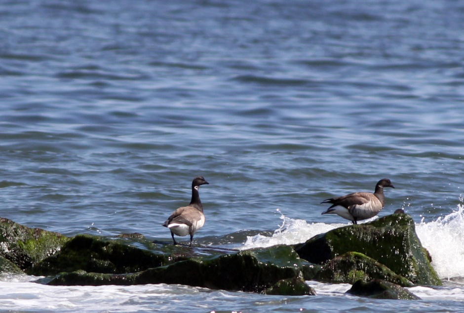 Bonus shot: Brant act like Seagulls in Holgate yesterday. Commonly mistaken for Canada Geese, Brant are smaller and sport flashy necklaces.