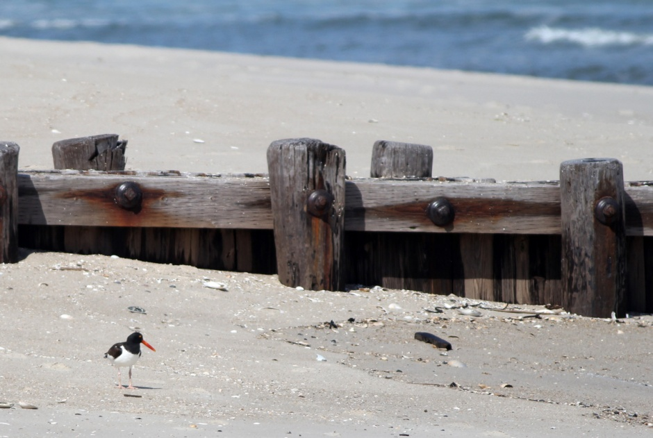 I thought I really scored when I stumbled on an American Oystercatcher