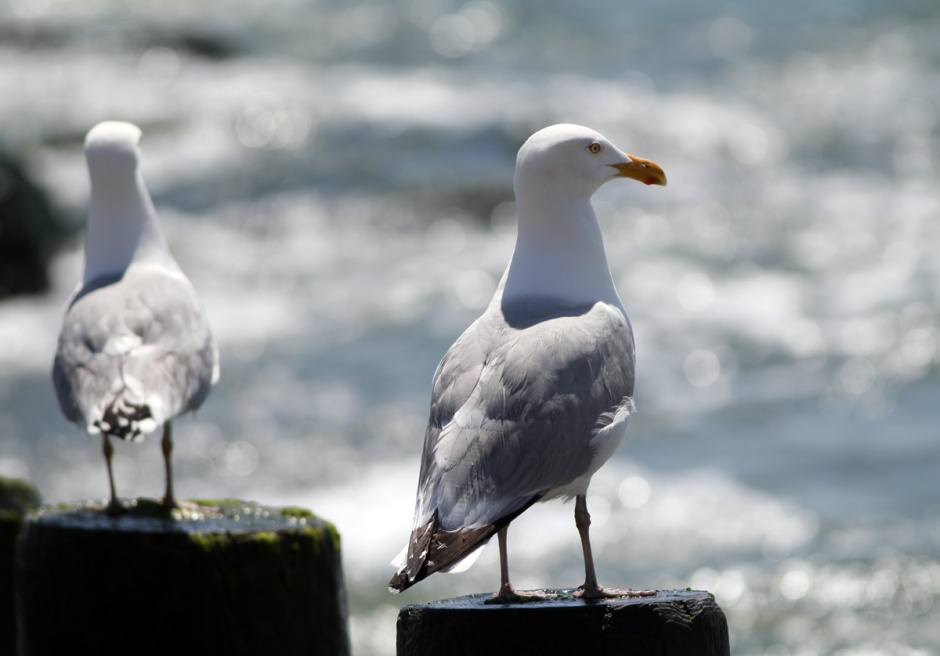 Gulls taking positions