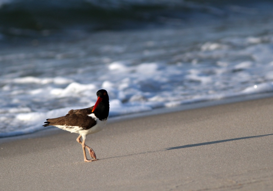 Oystercatcher casts a Solstice Shadow