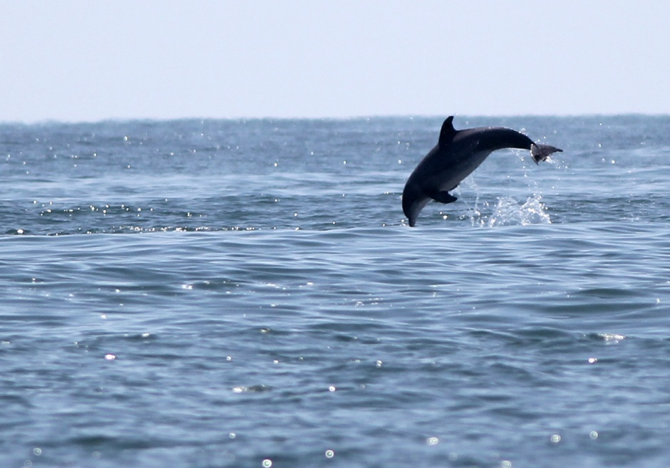 Dolphin Mating: adorbz.